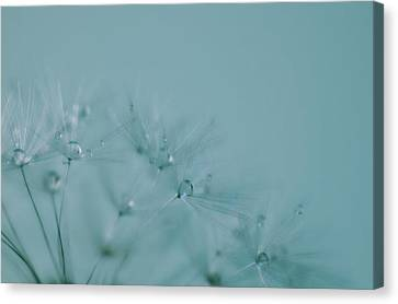 Dew Drops On Dandelion Seeds Canvas Print by Marianna Mills