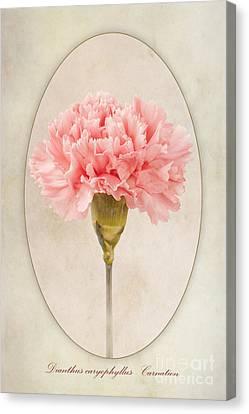 Dianthus Caryophyllus Carnation Canvas Print by John Edwards
