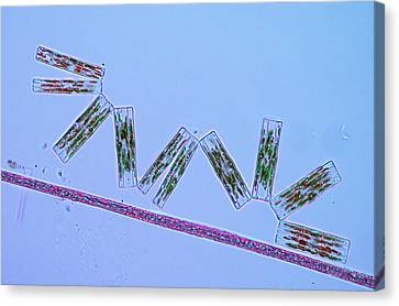 Diatoms And Cyanobacteria Canvas Print by Marek Mis