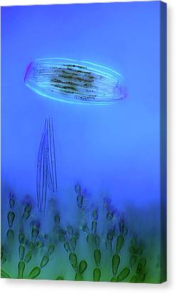 Diatoms And Red Algae Canvas Print by Marek Mis