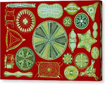 Diatoms-ernst Haeckel Canvas Print by Scott Camazine