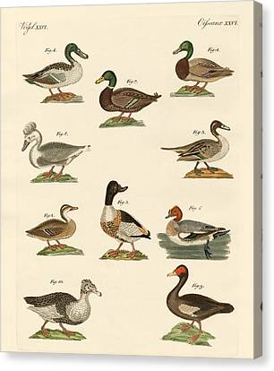 Different Kinds Of Ducks Canvas Print by Splendid Art Prints