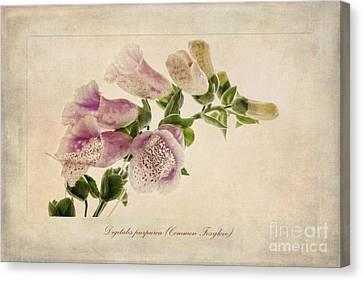Digitalis Purpurea Aka Common Foxglove Canvas Print by John Edwards