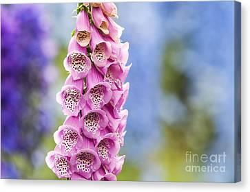 Digitalis Purpurea Foxglove Canvas Print by Tim Gainey