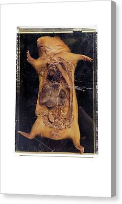Dissected Guinea Pig Canvas Print by Gregory Davies