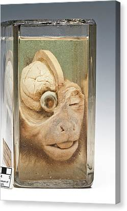 Dissected Monkey Head Canvas Print by Ucl, Grant Museum Of Zoology