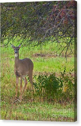Doe A Deer Canvas Print by Bill Woodstock