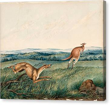 Dog Chasing A Kangaroo  Canvas Print by Adam Gustavus Ball