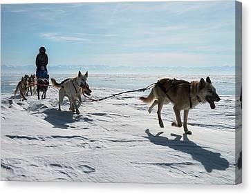 Dog Sledding Canvas Print by Louise Murray