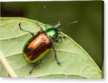 Dogbane Beetle Canvas Print by Clarence Holmes