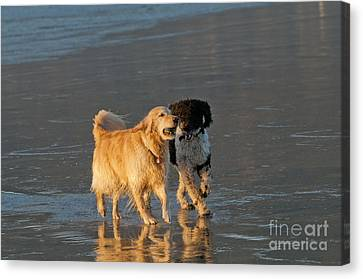 Dogs Playing On Ocean Beach Canvas Print by William H. Mullins