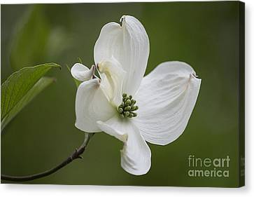 Dogwood Blossom Canvas Print by Arlene Carmel
