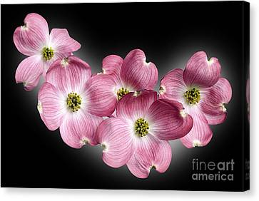 Dogwood Blossoms Canvas Print by Tony Cordoza