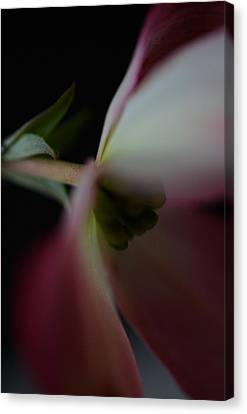 Dogwood Flower Canvas Print by Marianna Mills