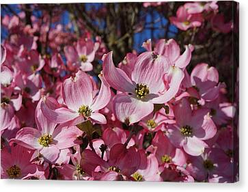 Dogwood Tree Flowers Art Prints Floral Canvas Print by Baslee Troutman