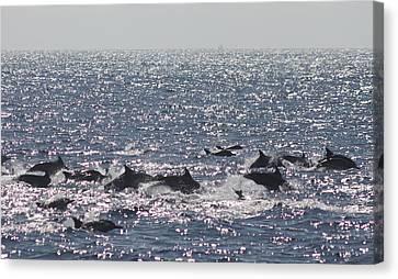 Dolphin Pod Canvas Print by Valerie Broesch