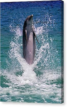 Dolphin Standing Above Water, Roatan Canvas Print by Keren Su