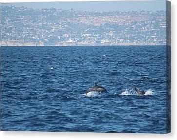 Dolphins Off The San Diego Coast Canvas Print by Valerie Broesch