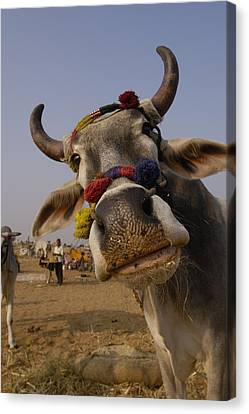 Domestic Cattle India Canvas Print by Pete Oxford