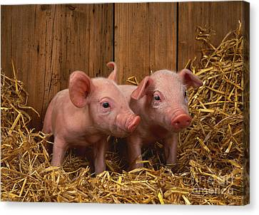 Domestic Piglets Canvas Print by Tierbild Okapia