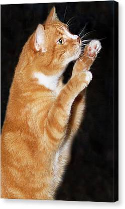 Domestic Shorthair Cat Up On Hind Legs Canvas Print by Piperanne Worcester