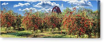 Door County Cherry Harvest And Red Barn Panorama Canvas Print by Christopher Arndt