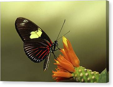 Doris Longwing Butterfly On Gurania Canvas Print by Thomas Wiewandt