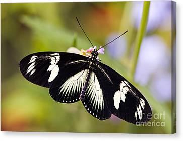 Doris Longwing Butterfly Canvas Print by Oscar Gutierrez
