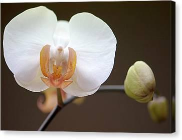 Doritaenopsis Martha Dolge Orchid Canvas Print by Maria Mosolova