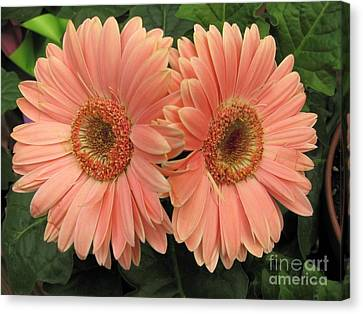 Double Delight - Coral Daisies Canvas Print by Dora Sofia Caputo Photographic Art and Design