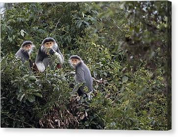 Douc Langur Male And Females Vietnam Canvas Print by Cyril Ruoso
