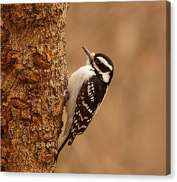Downy Woodpecker Canvas Print by Sandy Keeton