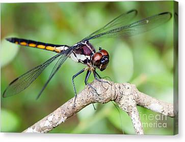 Dragonfly Canvas Print by Dawna  Moore Photography