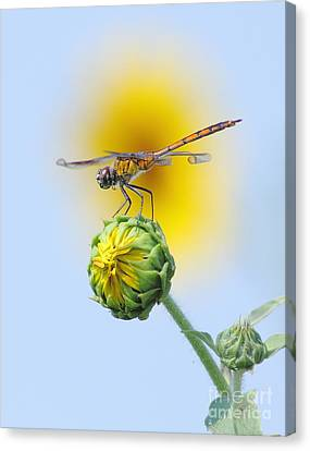 Dragonfly In Sunflowers Canvas Print by Robert Frederick