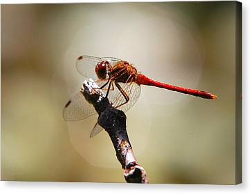 Dragonfly Light Canvas Print by Christina Rollo