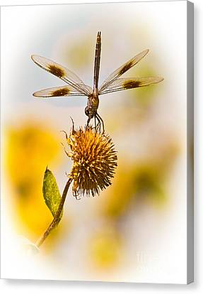 Dragonfly On Dead Bud Canvas Print by Robert Frederick