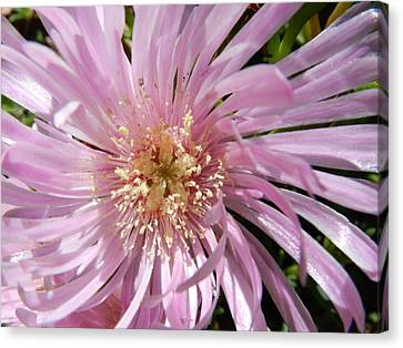 Dressed In Pink Canvas Print by Leana De Villiers
