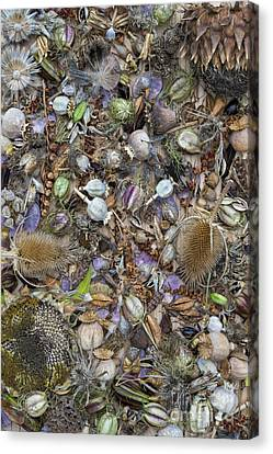 Dried Flower Seeds Canvas Print by Tim Gainey