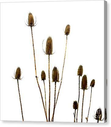 Dried Thistle Canvas Print by Bernard Jaubert