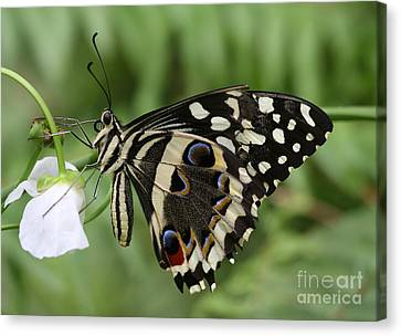 Drinks With A Giant  Swallowtail Canvas Print by Ruth Jolly