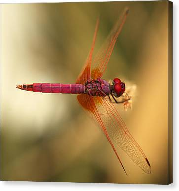 Dropwing Dragonfly Canvas Print by Paul Cowan