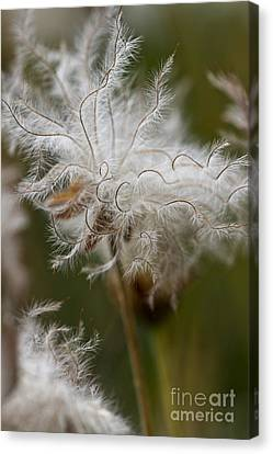 Dryas Octopetala Vertical Canvas Print by Heiko Koehrer-Wagner
