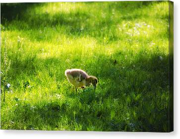 Duckling Canvas Print by Bill Cannon