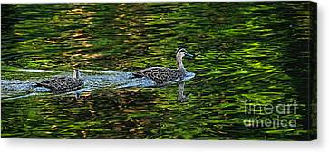 Ducks On Green Reflections - Panorama Canvas Print by Kaye Menner