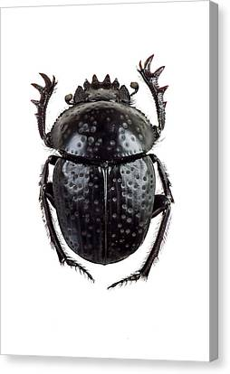 Dung Beetle Canvas Print by F. Martinez Clavel