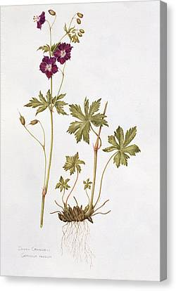 Dusky Cranesbill Canvas Print by Diana Everett