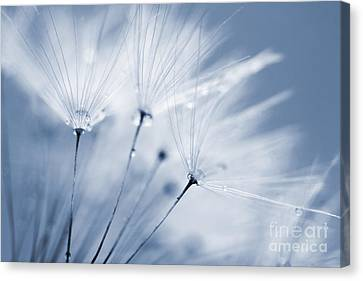 Dusty Blue Dandelion Clock And Water Droplets Canvas Print by Natalie Kinnear