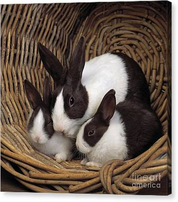 Dutch Rabbit With Young Canvas Print by E A Janes