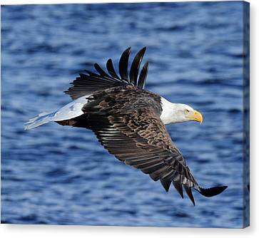 Eagle Over Blue Water Canvas Print by Coby Cooper