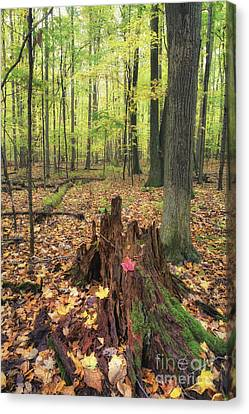Early Autumn Woods Canvas Print by Michele Steffey